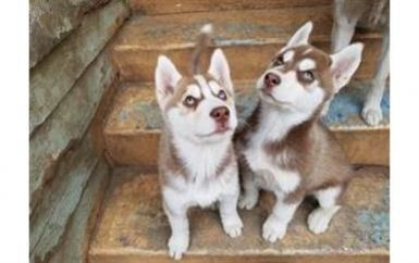 Perritos huskies